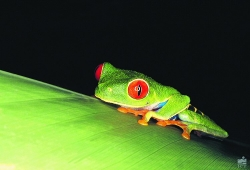 Gaudy Leaf Frog, Holidays to Costa Rica