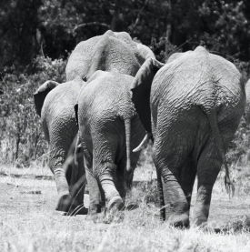 Elephants in Black and White, by Elizabeth Faulkner