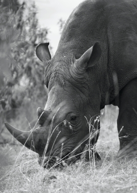 Rhino in Black and White, by Elizabeth Faulkner