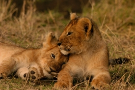 Lion Cubs, by Elizabeth Faulkner