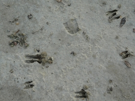 Sitatunga footprints, Sarah Williams – Okavango Delta, Botswana