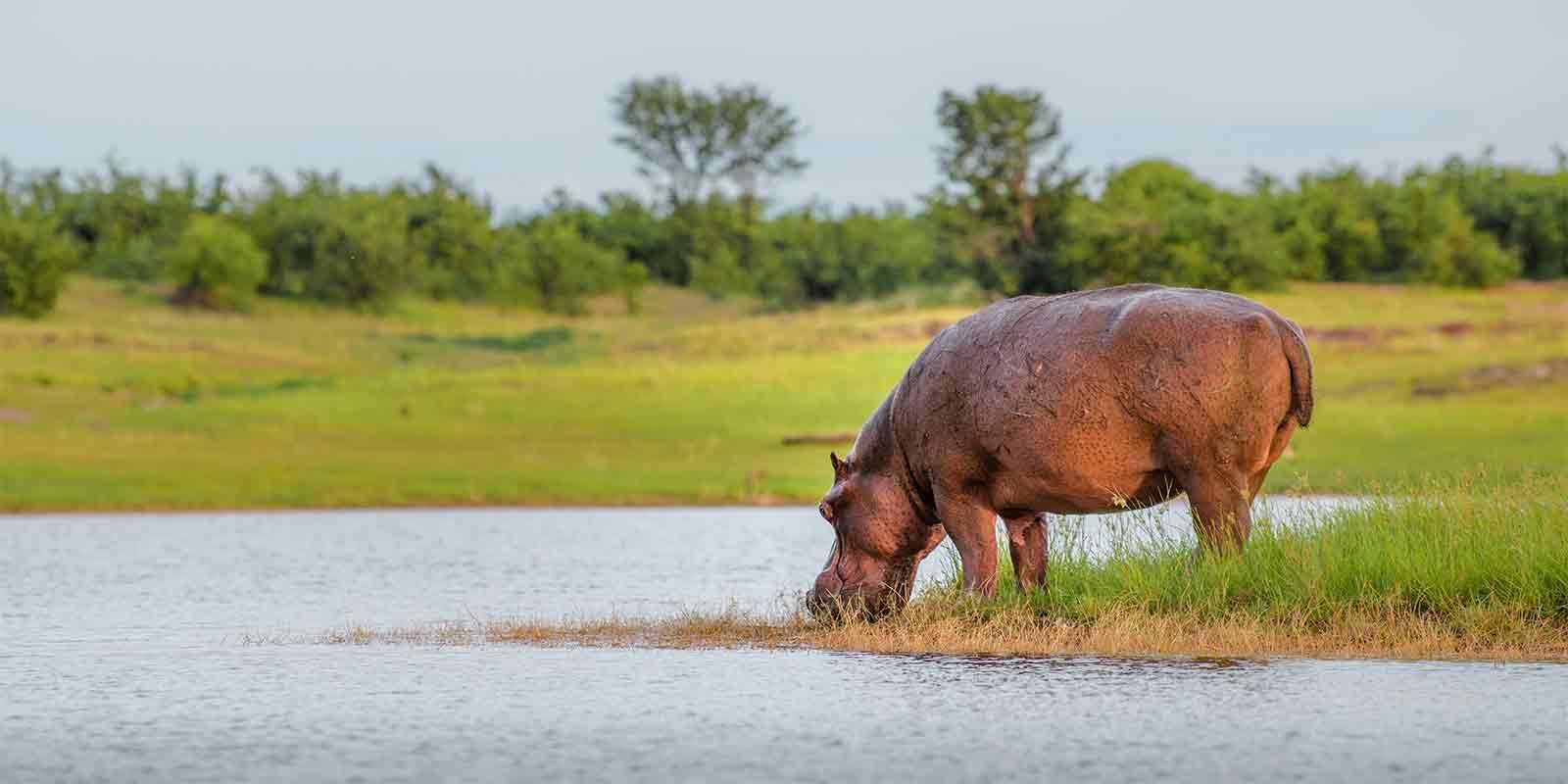 Hippo on banks of Lake Kariba Zimbabwe