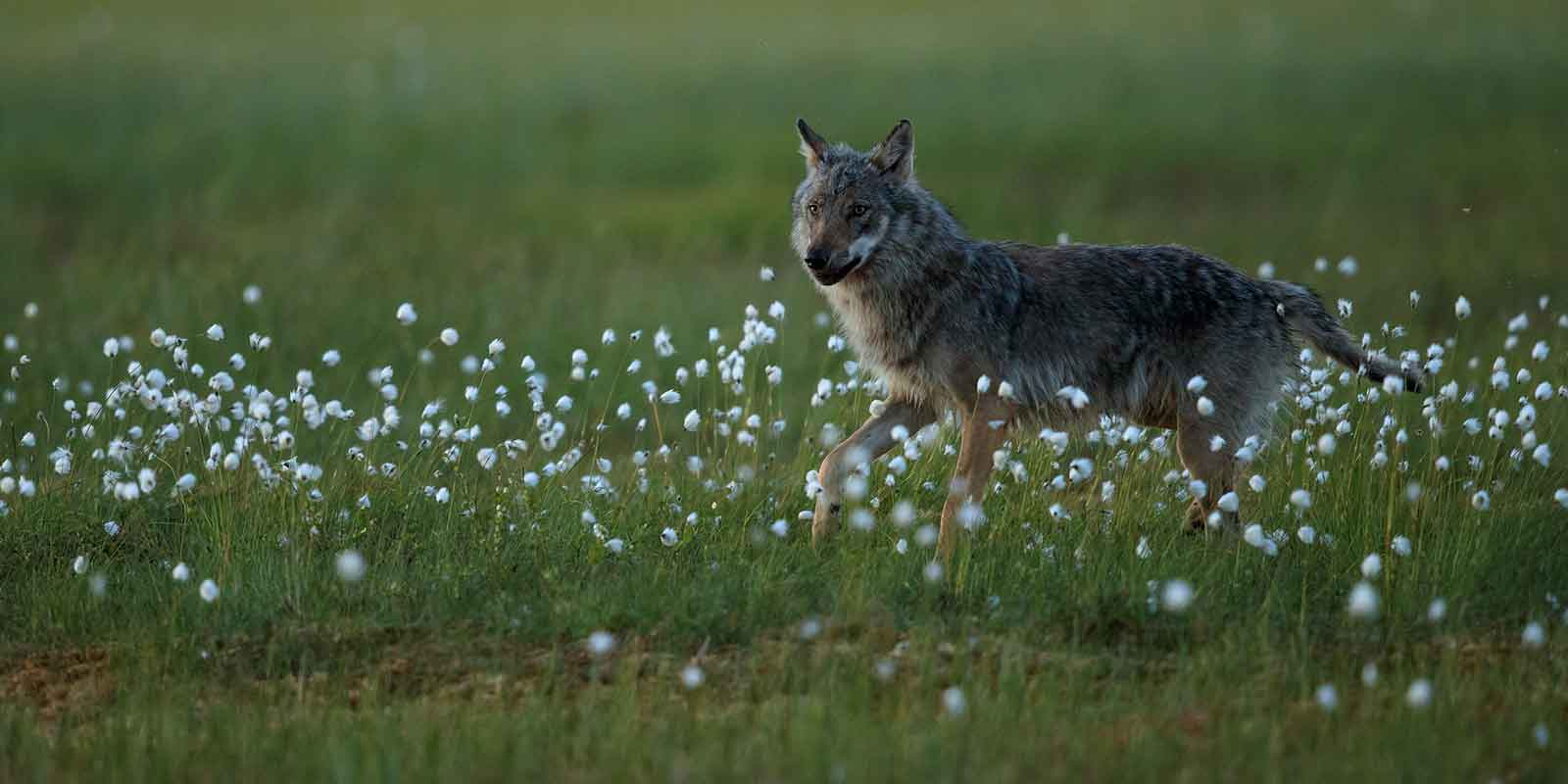 Wolf standing in cotton grass in Boreal forest of Finland