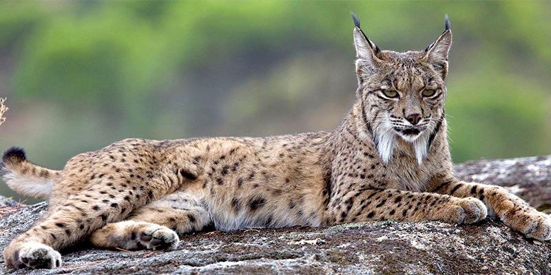 Iberian lynx in Andujar Natural Park Andalucia