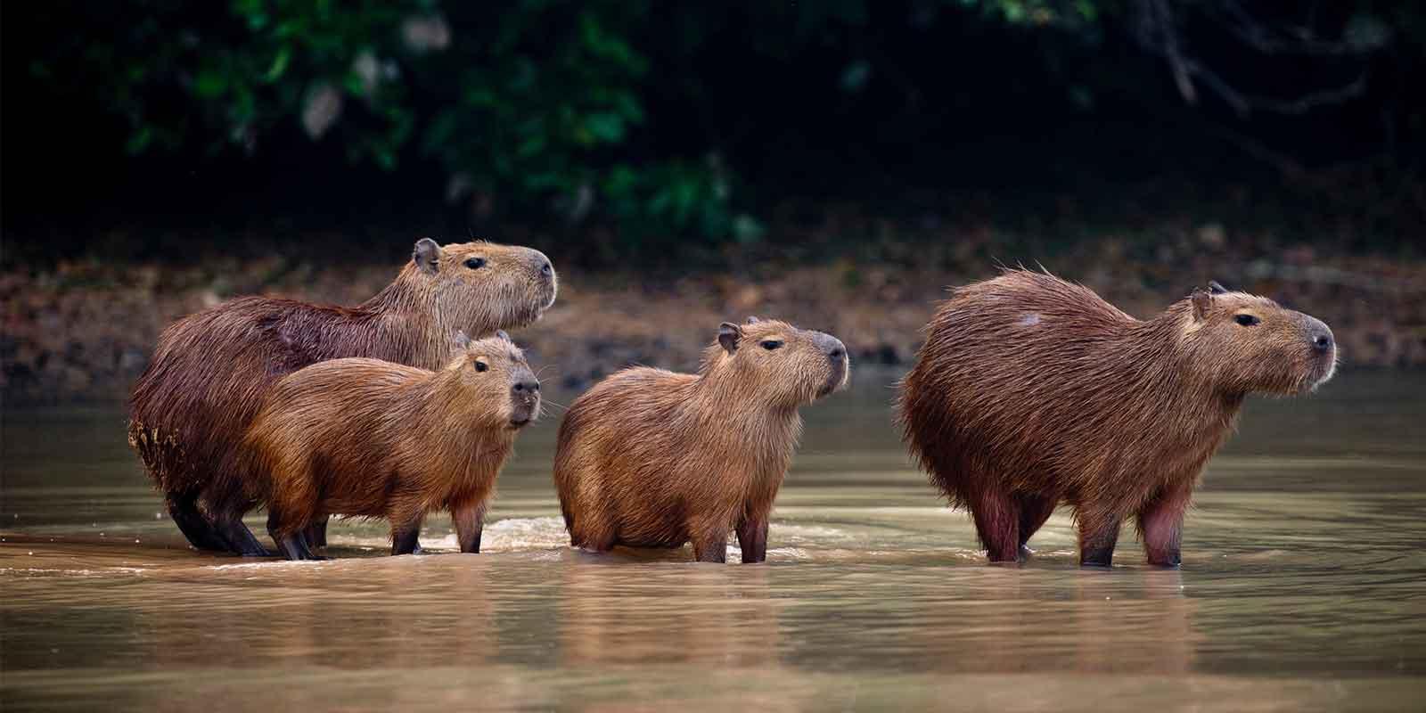 Capybara herd in Pantanal Brazil