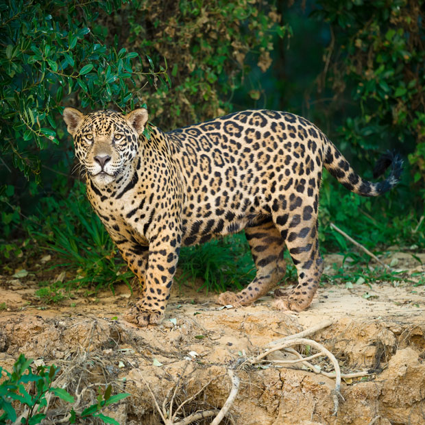 Join A Small Group Trip To Explore The Pantanal And See Jaguar On The  Cuiabá River ...