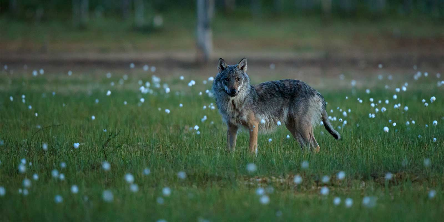 Wildlife & Wolf Photography