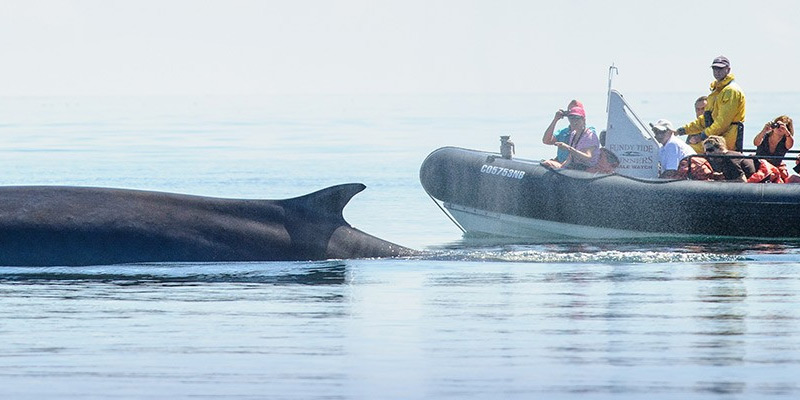 A small group whale watching from a rigid inflatable boat (RIB)