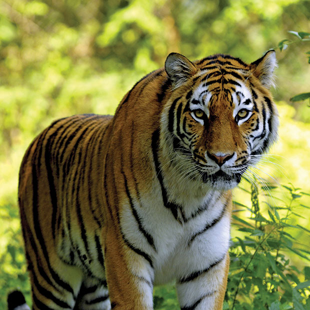 our national animal tiger National animal  tiger the tiger is india's national animal it is a royal looking animal known for its magnificence, grace, power and its agility.