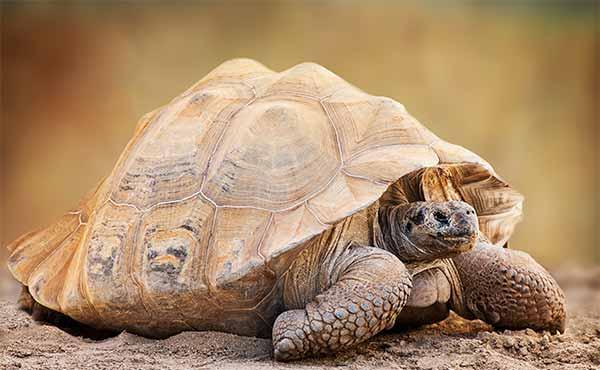 giant tortoise in south america