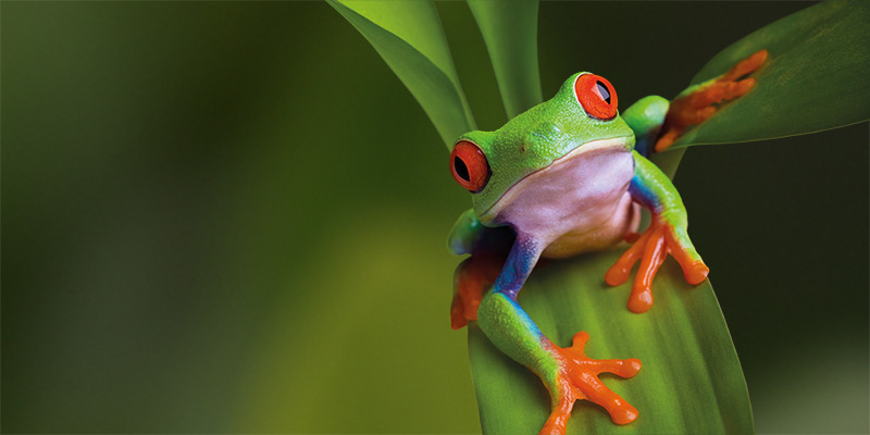 A red-eyed tree frog at rest on a leaf