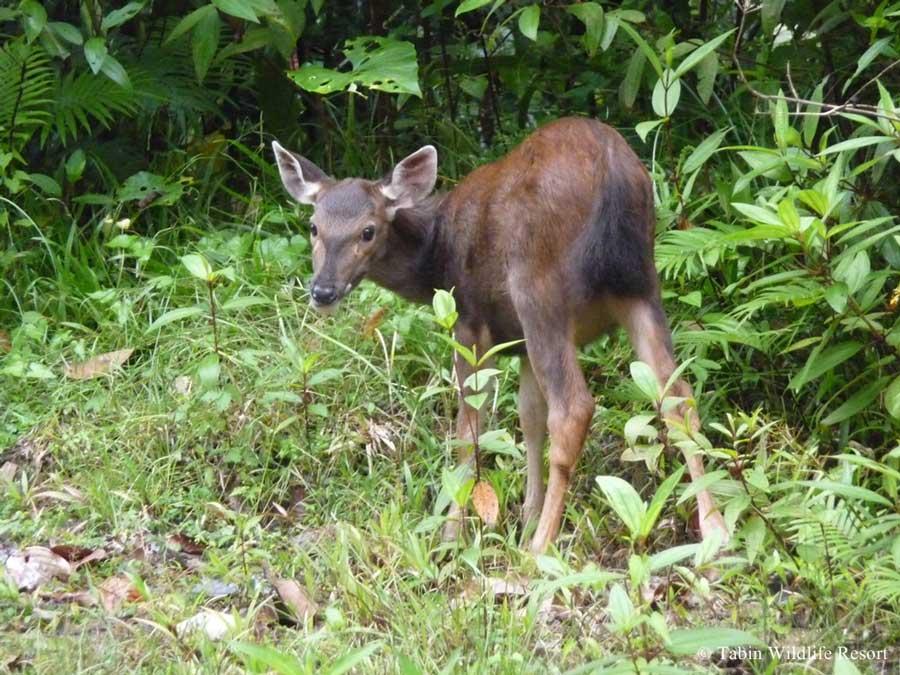 Tabin Wildlife Resort Holiday Accommodation In Borneo