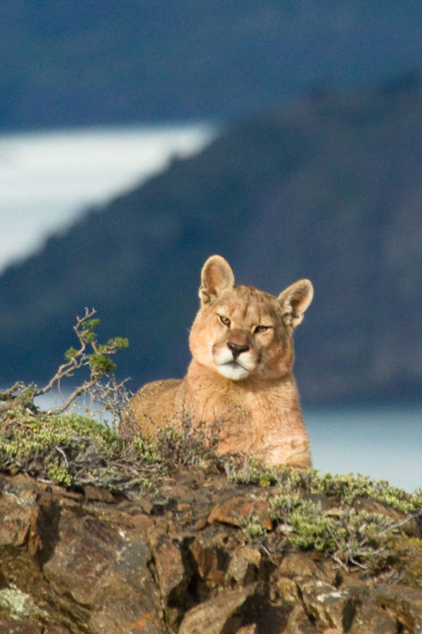 Patagonia South America >> Puma-tracking in Southern Chile Chile wildlife holiday | Latin America group tour | Wildlife ...