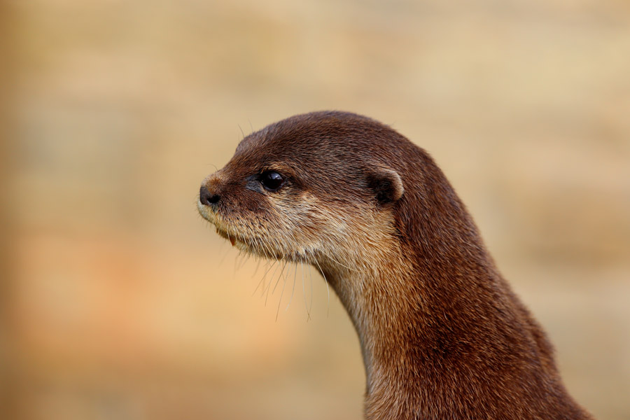 otter in latin