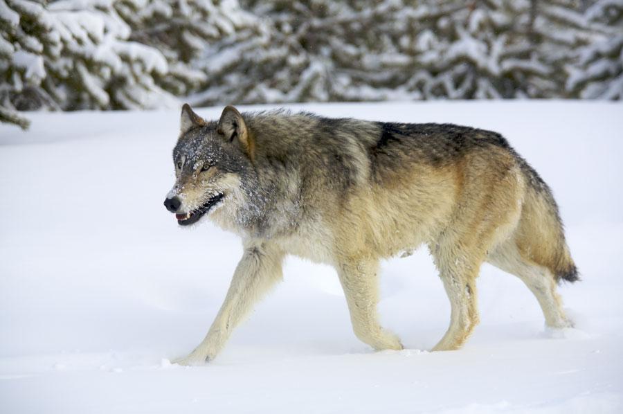 Yellowstone Ultimate Wolf Amp Wildlife Safari Usa Wildlife