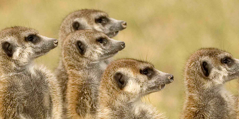 A group of six meerkats on the lookout for predators