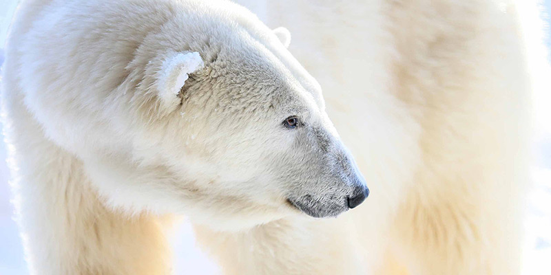 Close-up of a polar bear.